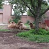 CAMEL FAMILY TIME