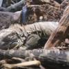 Sleepy iguanas are sleepy.